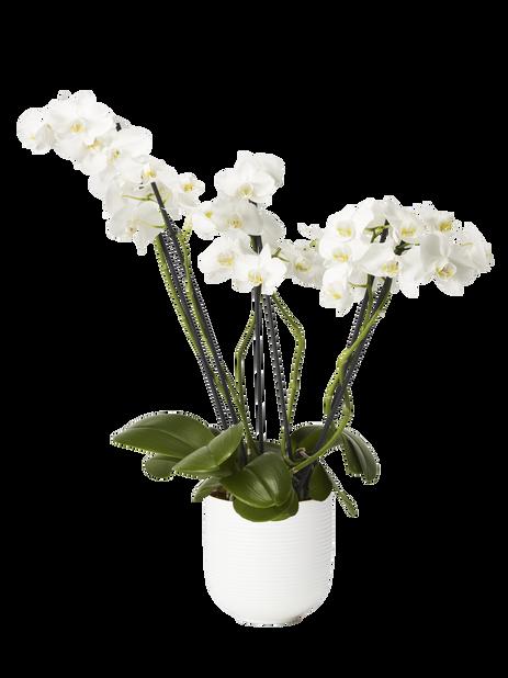 Perhosorkidea 15 cm