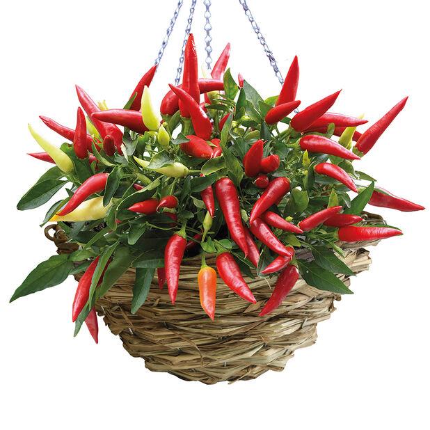 Chili amppelissa, Ø25 cm, Punainen