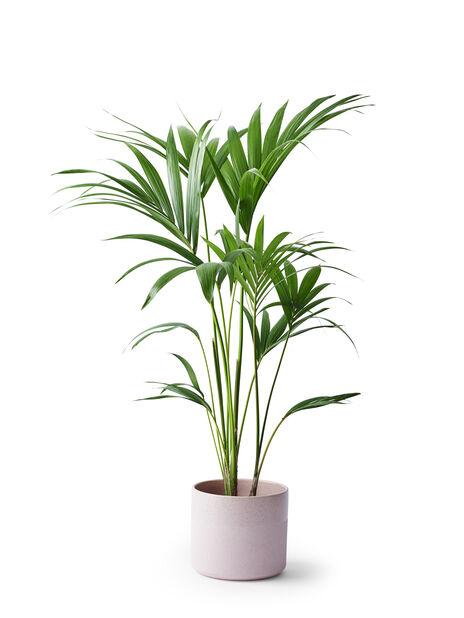 Kentiapalmu, Korkeus 95 cm, Vihreä