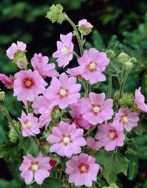 Malvikki, Korkeus 15 cm, Pinkki