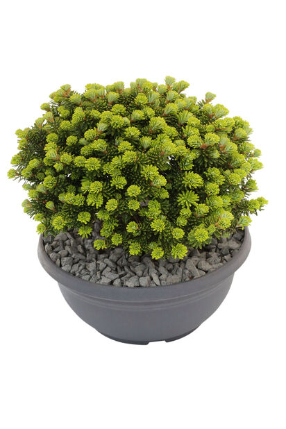 Abies koreana 'Brillant' 23cm bowl