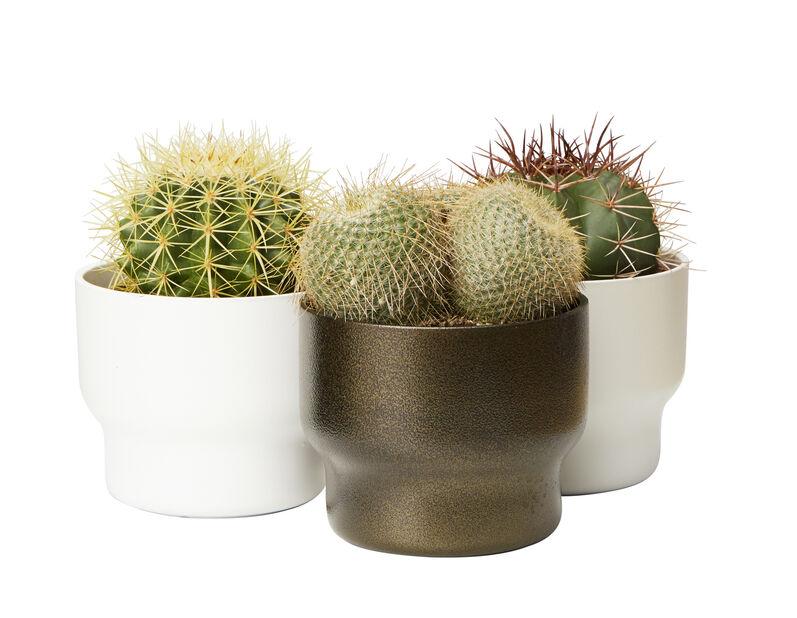 Kaktus 12 cm