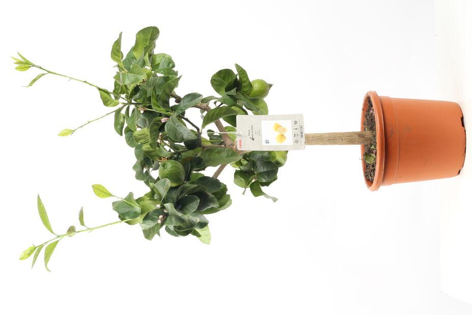 Meyer-sitruuna, Ø21 cm, Keltainen