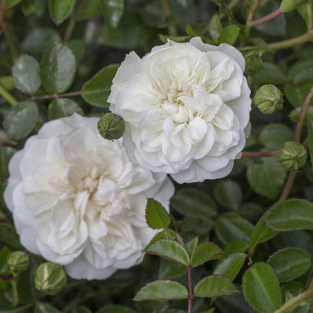 Maanpeiteruusu 'Swany' , Korkeus 25 cm, Valkoinen