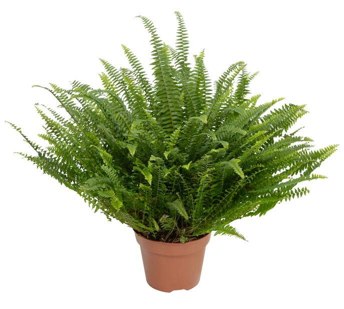 Kaarisulkasaniainen 'Green Lady' 17 cm
