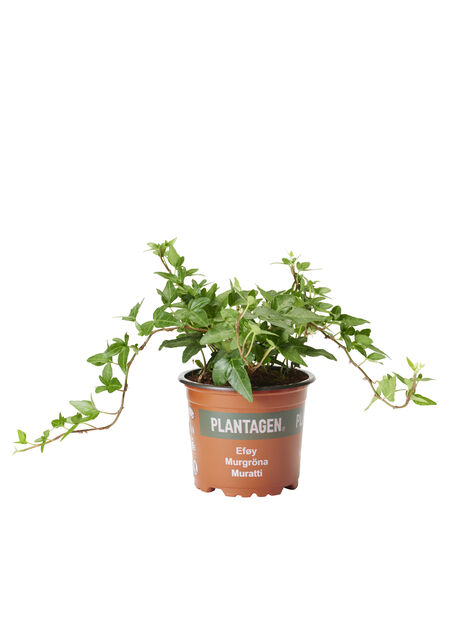 Muratti keskipitkät versot, Korkeus 25 cm, Vihreä