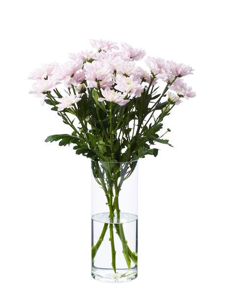Krysanteemi, Korkeus 60 cm, Useita värejä