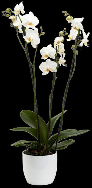 Perhosorkidea 25+ kukkaa 3-vanainen 15 cm