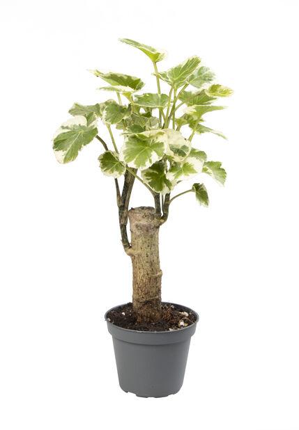 Minikokoinen aralia, Korkeus 10 cm, Vihreä