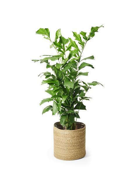 Burmaneväpalmu 32 cm