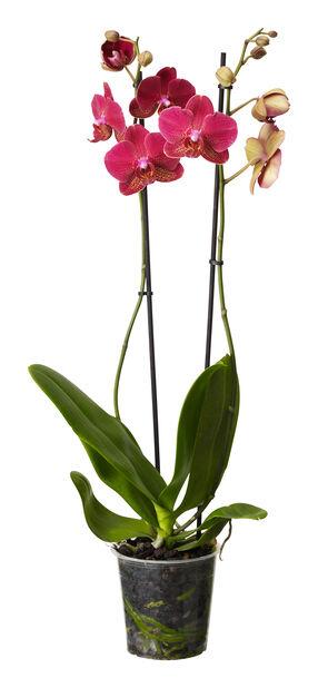 Phalaenopsis sesonal 2 branch 12+ 12cm