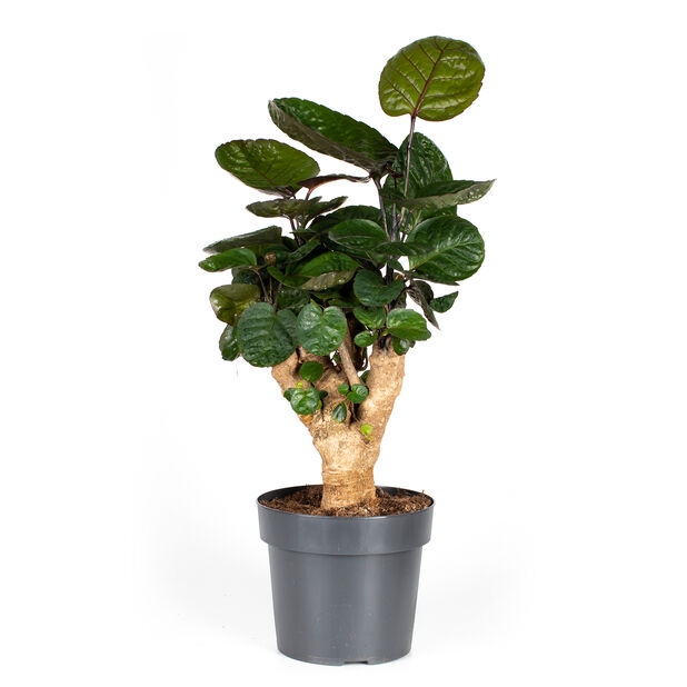 Hopea-aralia 'Fabian', Korkeus 60 cm, Vihreä