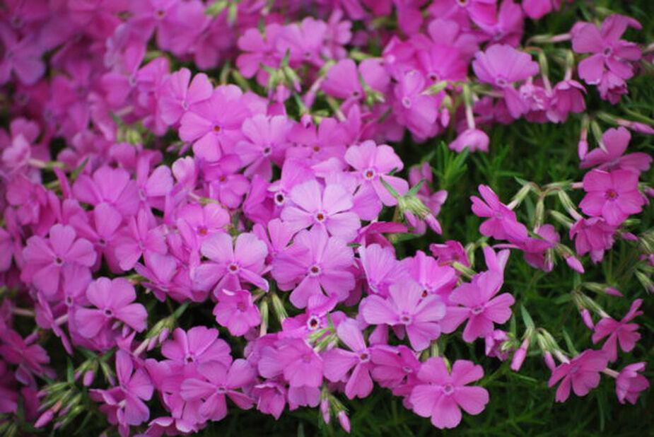 Sammalleimu , Korkeus 15 cm, Pinkki