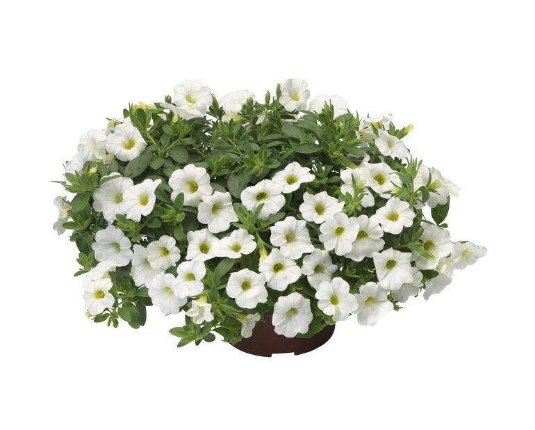 Petunia 'Surfinia', Ø12 cm, Valkoinen