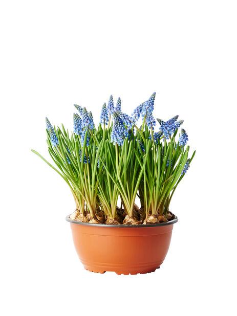 Helmililja, Ø23 cm, Sininen