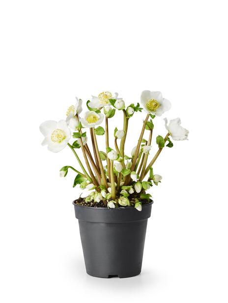 Jouluruusu, Ø12 cm, Valkoinen