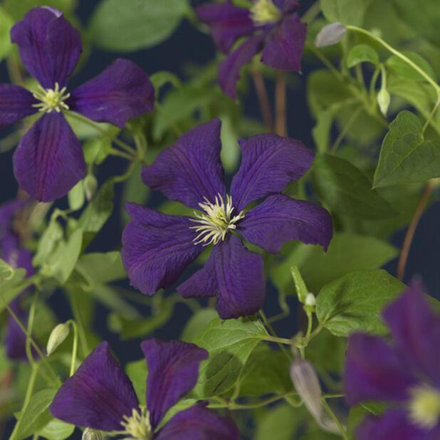 Tarhaviinikärhö 'Etoile Violet', Korkeus 70 cm, Violetti