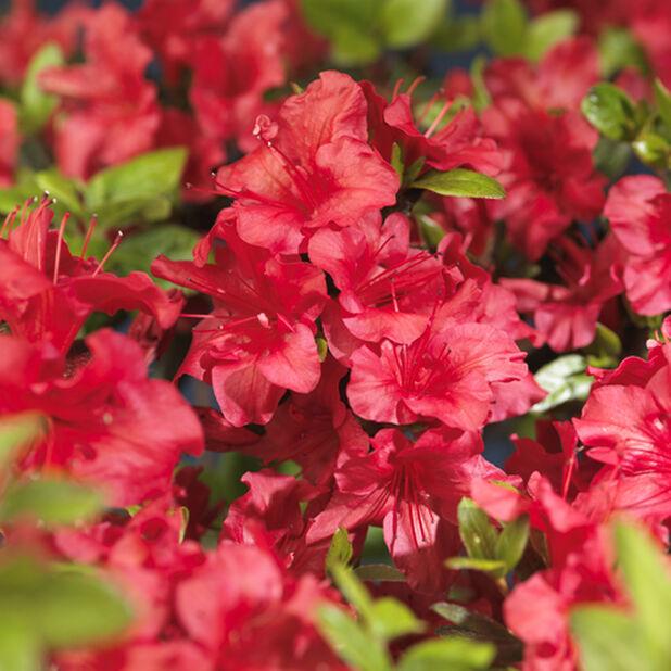 Japaninatsalea 'Arabesk', Korkeus 35 cm, Punainen