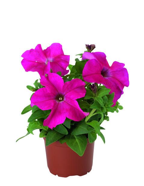 Petunia 12 cm