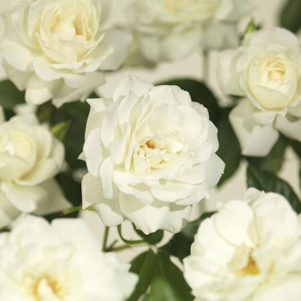 Ruusu 'Swany' 3L