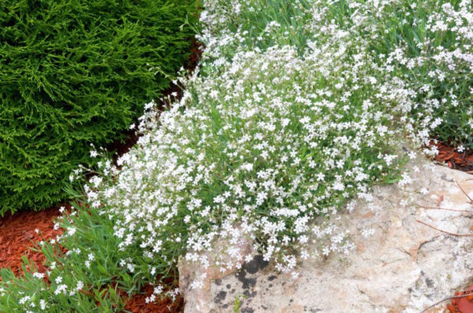 Mätäsharso, Korkeus 15 cm, Valkoinen