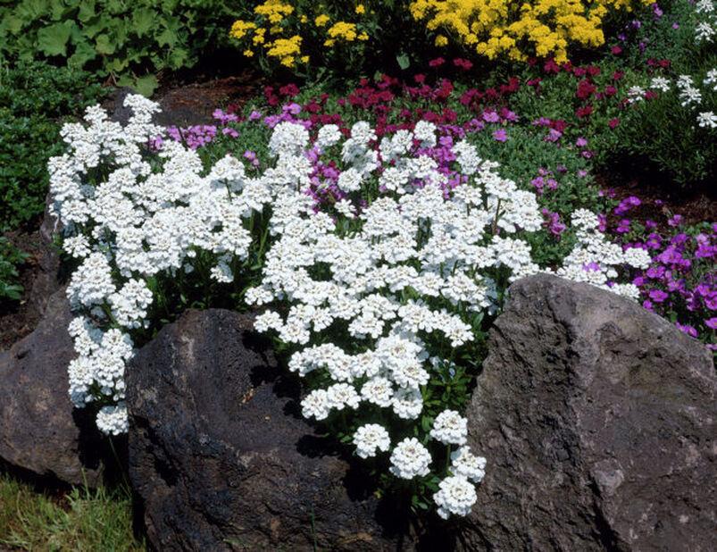Talvisaippo 'Weisser Zwerg', Korkeus 15 cm, Valkoinen