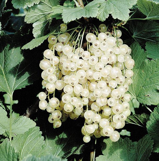 Ribes rubrum 'vita Hollandska' 4,5L