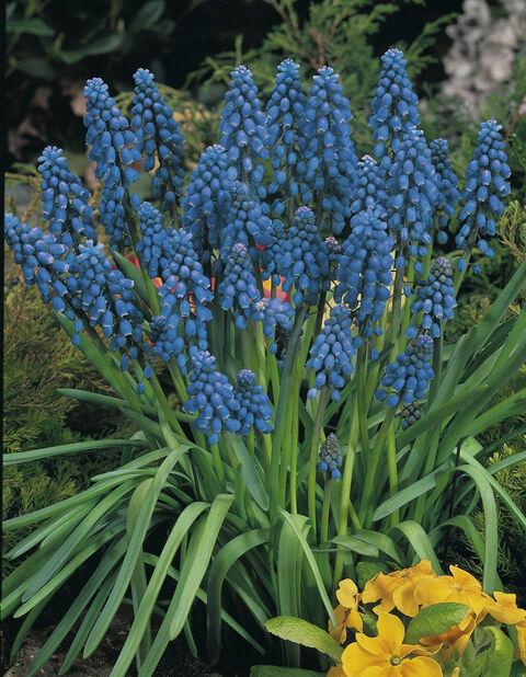 Tummahelmililja 'Blue', Useita värejä