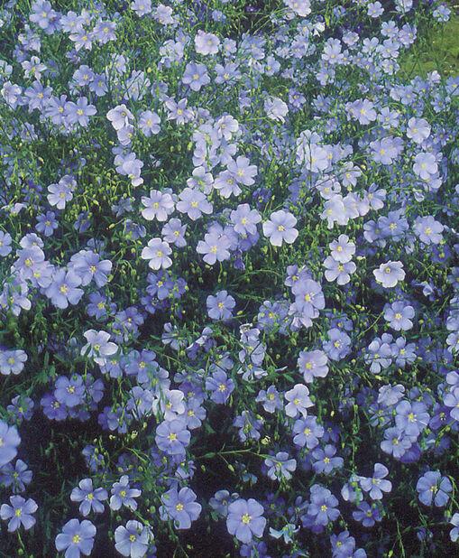 Sinipellava , Korkeus 15 cm, Sininen