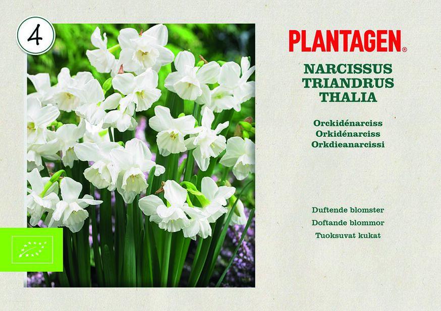 Orkideanarsissi 'Thalia' luomumerkitty, Valkoinen