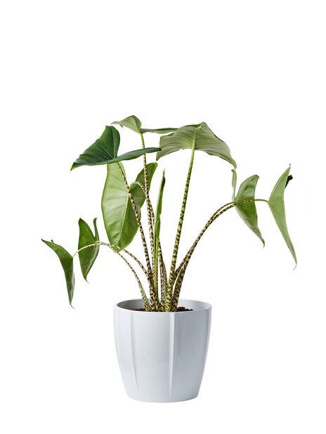 Seepra-alokasia 'Zebrina', Korkeus 70 cm, Vihreä