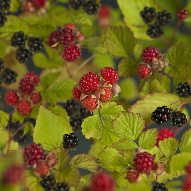 Rubus allegheniensis 2L