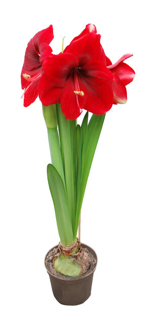 Amaryllis 'Exclusive Red' 17 cm