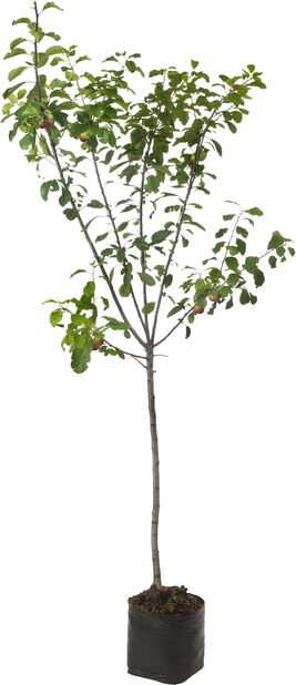 Syysomena 'Jaspi', Korkeus 180 cm, Valkoinen