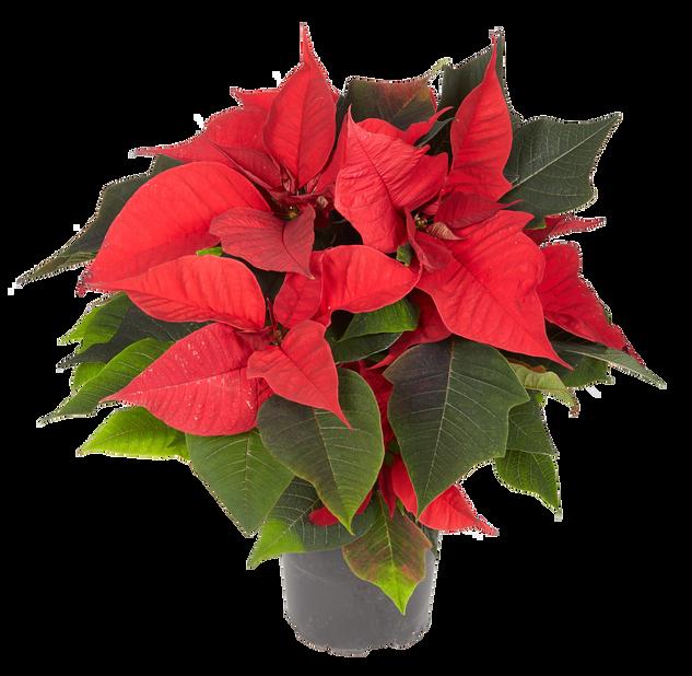 Monilatvainen joulutähti, Ø12 cm, Punainen