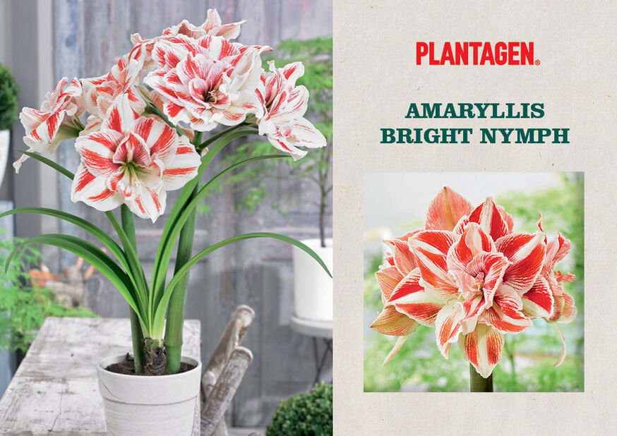 Amaryllis 'Bright Nymph', Monivärinen
