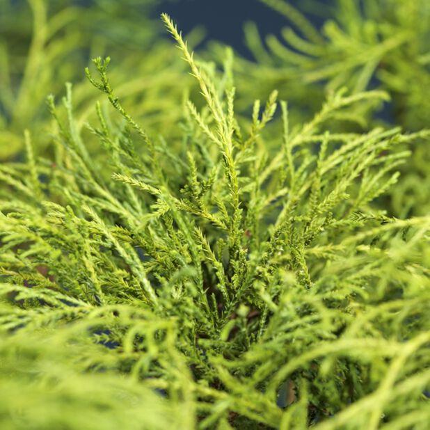 Kääpiöhernesypressi, Korkeus 25 cm, Vihreä