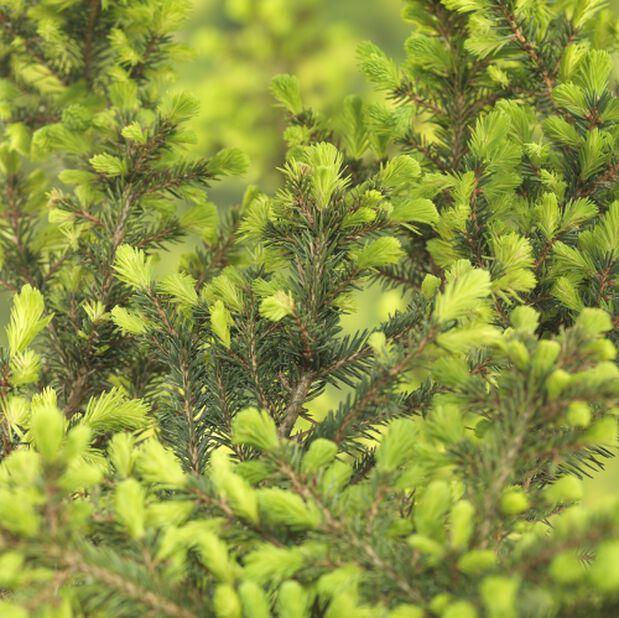 Kääpiöserbiankuusi 'Karel', Korkeus 20 cm, Vihreä