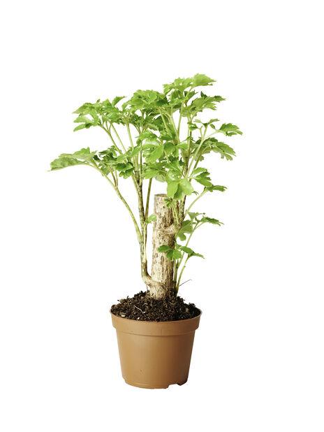 Miniviherkasvit , Korkeus 10 cm, Vihreä