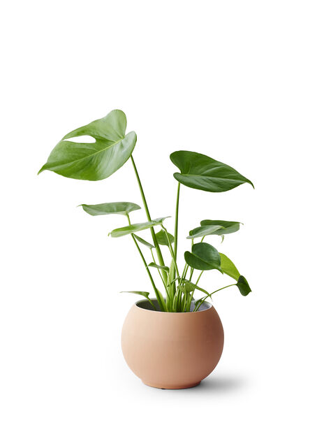 Peikonlehti , Korkeus 55 cm, Vihreä