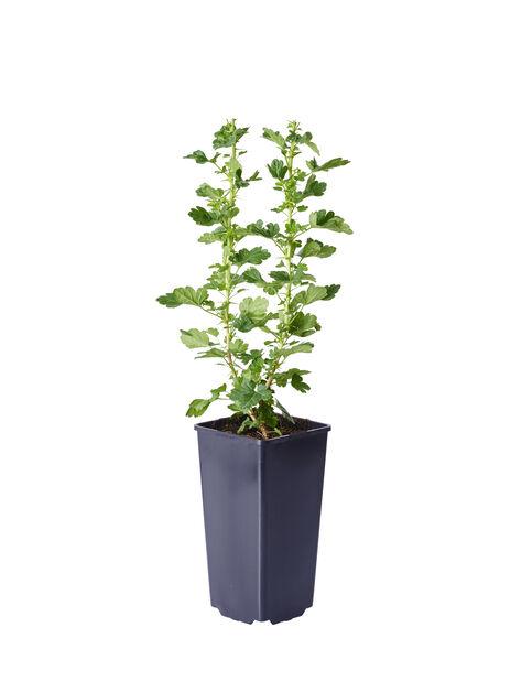 Ribes grossularia 'Hinnonmäki Green', Korkeus 30 cm, Vihreä