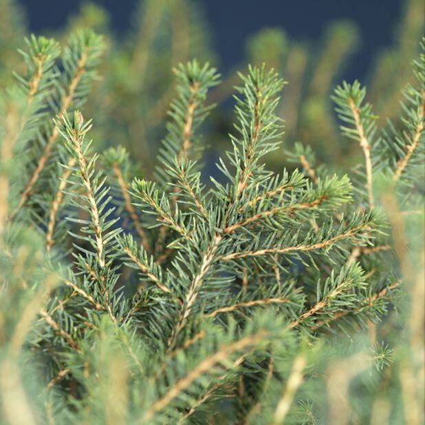 Kääpiöserbiankuusi 'Karel', Korkeus 25 cm, Vihreä