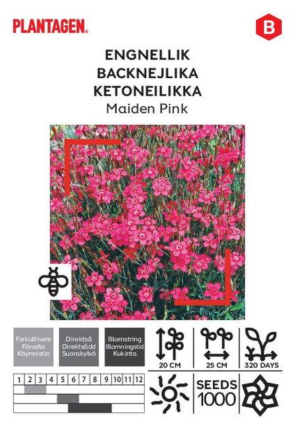Ketoneilikka 'Maiden Pink'