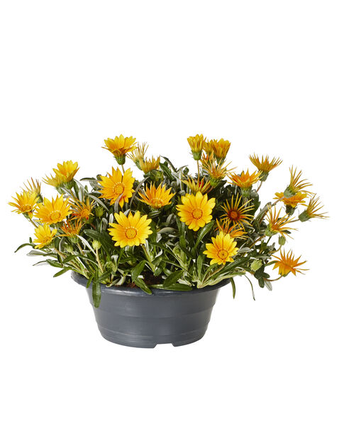 Gazania Orange bowl 23 cm