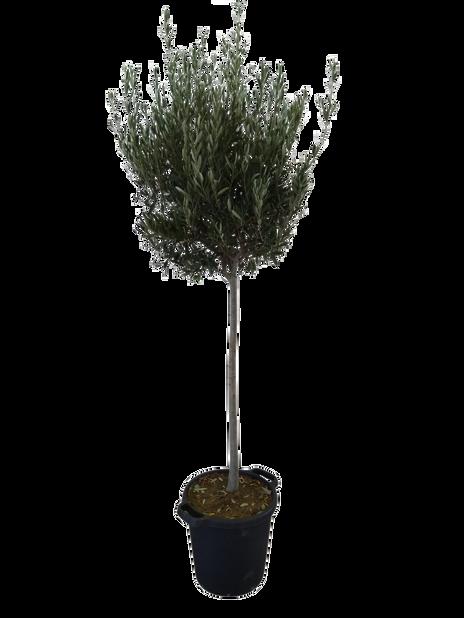 Oliivipuu rungollinen, Ø35 cm, Harmaa