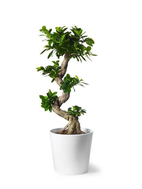 Varjoviikuna , Korkeus 70 cm, Vihreä