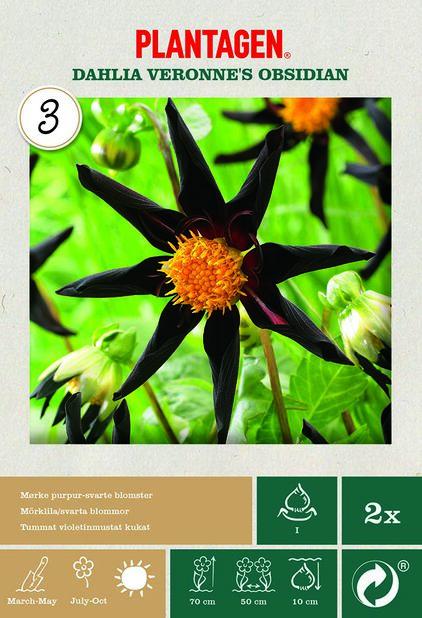 Kaktusdaalia 'Verrone's Obsidian', Pinkki