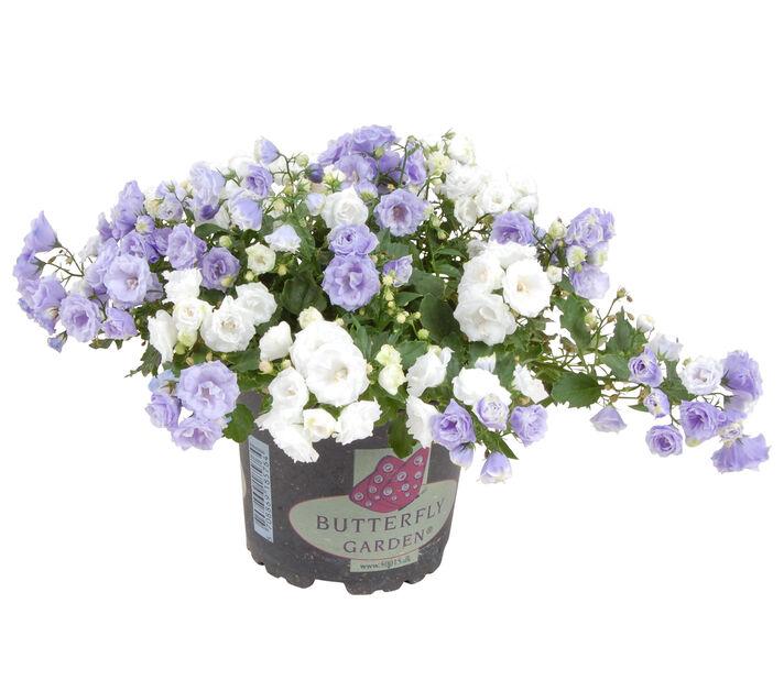 Campanula Romantic Garden 10,5 cm