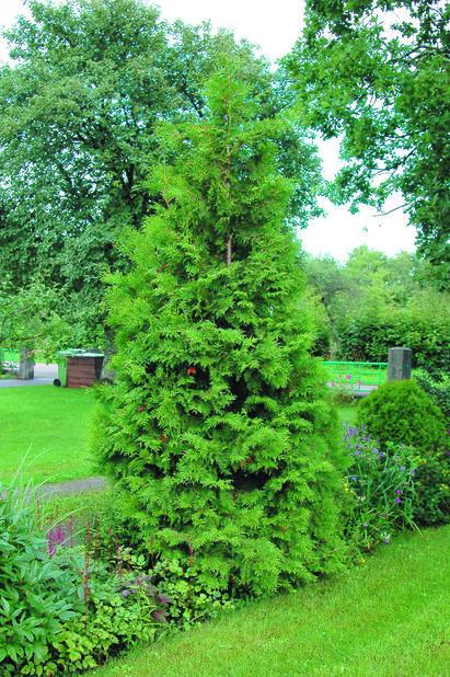 Kartiotuija, Korkeus 50-70 cm, Vihreä