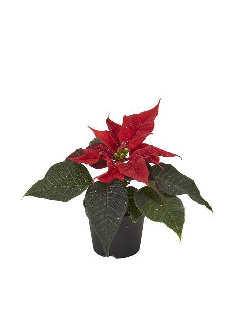 Mini-joulutähti, Korkeus 8 cm, Punainen